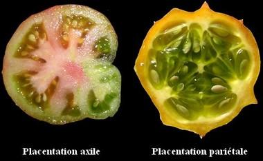 Comparaison_placentation_fr.jpg