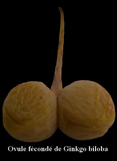 fruit_gingko_low.jpg
