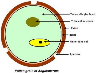 pollen_grain_eng.jpg