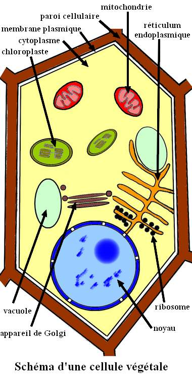 cell_veg_fren.jpg