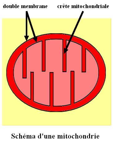 mitochondrie_fren.jpg