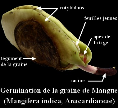 germination_mangue-fre.jpg