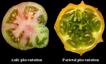 Comparaison_placentation_engl.jpg