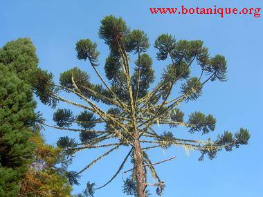 araucaria_angustifolia_low.jpg