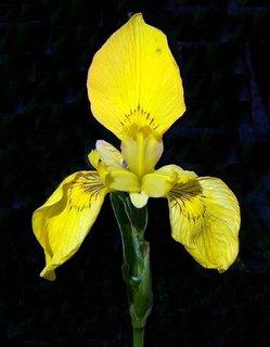 Iris_pseudoacorus.jpg