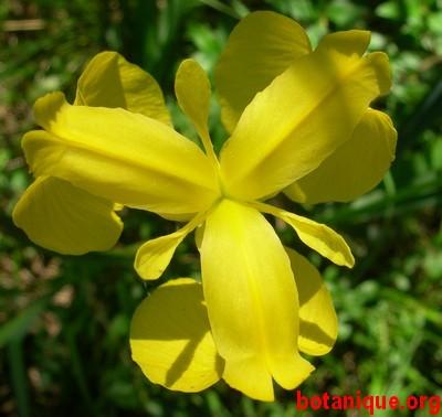 Iris_pseudoacorus_low-2.jpg