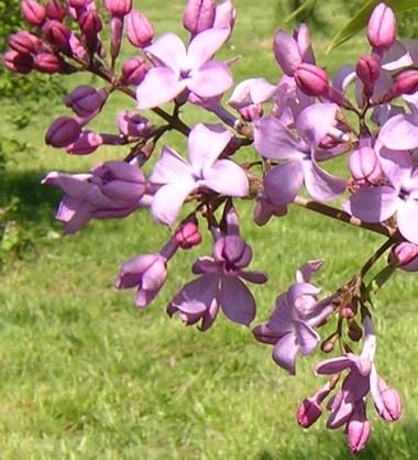 S._hyacinthiflora_low.jpg