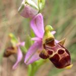 Ophrys scolopax (Ophrys scolopax)