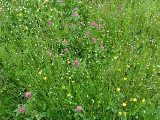 Prairie fleurie spontanée